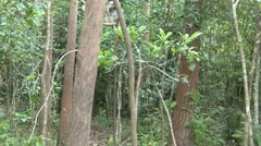 Diademed sifaka lemur jumps across trees Stock Footage