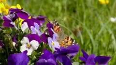 Orange butterfly sucking nectar from flowers Stock Footage