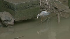 Great Blue Heron Nabs Fish by Old Pilings Stock Footage