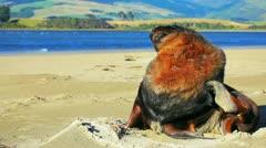 New zealand sea lion Stock Footage