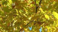 Beautiful yellow fall leaves - hd Stock Footage