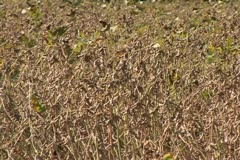 Soybean seeds Stock Footage