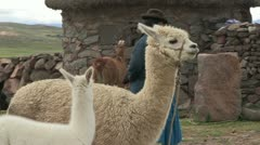 Peru: A Woman and her Llamas - stock footage