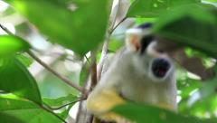 Cute and inquisitive WILD Squirrel Monkey eats insects in the Peruvian Amazon Stock Footage