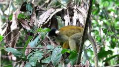 A cute and inquisitive WILD Squirrel Monkey in the Peruvian Amazon Stock Footage