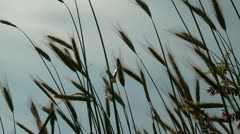 Grainfield in Spring Stock Footage