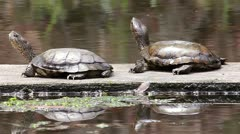 Western/Pacific Pond Turtles (Actinemys marmorata) Lazily Floating on a Log Stock Footage