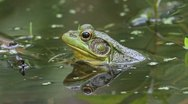 Green Frog (Rana clamitans) in a Pond Stock Footage