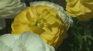Shades Persian Buttercup Stock Footage