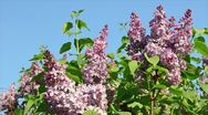 Lilac Stock Footage