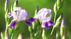 Two irises Stock Footage
