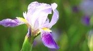 Iris, C.U. Stock Footage