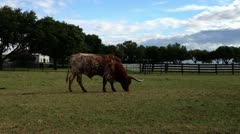 TexasLonghorn1 - stock footage