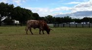 Stock Video Footage of TexasLonghorn1