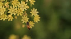 Rosas Stock Footage Bees Slow 10 Stock Footage
