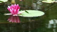 Red water lily (Nymphaea) 20 Stock Footage