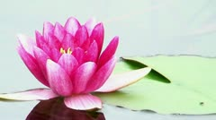 Red water lily (Nymphaea) 22 Stock Footage