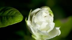 Time-lapse  white gardenia opening. Stock Footage