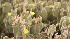 HD 30p wide Beaver Tail Cactus blossoms bunch open to the sun time lapse - stock footage