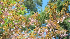Cherry blossom durin spring - stock footage
