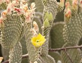2K 24p film tight Beaver Tail Cactus blossoms bunch open to the sun time lapse Stock Footage