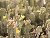 2K 24p film wide Beaver Tail Cactus blossoms bunch open to the sun time lapse Stock Footage
