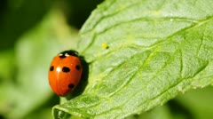 Lady`s beetle Stock Footage