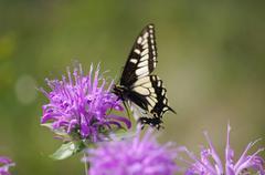 Tiger Swallowtail on Bee Balm - stock photo