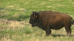 bison on an agricultural farm, raised for food, solitaire on hill - stock footage