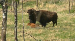 bison on an agricultural farm, raised for food, and calf - stock footage