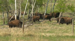 Bison on an agricultural farm, raised for food, grouped in the woods, #1 Stock Footage
