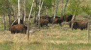 Stock Video Footage of bison on an agricultural farm, raised for food, grouped in the woods, #1