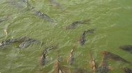 Stock Video Footage of Grass carps swimming in pond