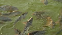 Grass carps swimming in pond Stock Footage
