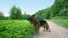 Sheep dog stand on gritty road near grass field and watch around Stock Footage