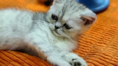 Silver color british kitten lies on orange cloth, closeup view Stock Footage