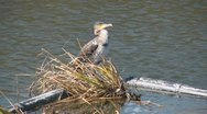 Stock Video Footage of cormorant greenwich
