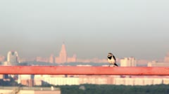 Little bird walks by orange tube at background of cityscape Stock Footage