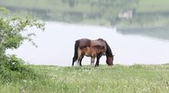Stock Video Footage of Horse and colt grazing the fresh grass on the shore of a lake