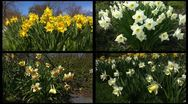 Stereoscopic 3D of blooming narcissus montage 1 (right eye) Stock Footage