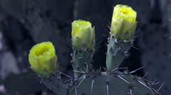 HD 30p elokuva cu viikuna Cactus kukkii avoinna tervehtimään auringon Viivästys Arkistovideo