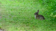 Amid Nature - Cottontail Rabbit - stock footage