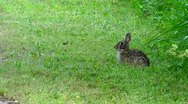 Stock Video Footage of Amid Nature - Cottontail Rabbit