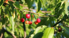 Cherry Tree - stock footage
