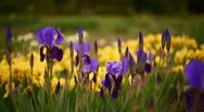 Stock Video Footage of Iris and Tulips