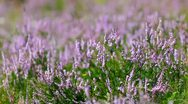 Stock Video Footage of Calluna Vulgaris (heather) bush flapping in wind