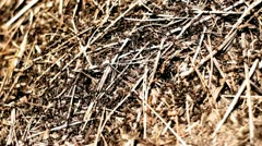 Anthill 01 Stock Footage