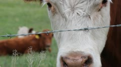 Curious Cow At Fence Stock Footage
