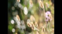 Pennisetum alopecuroides Stock Footage