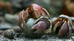 Hermit crabs. - stock footage